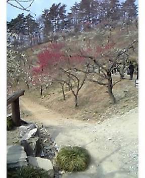 宝登山の梅園