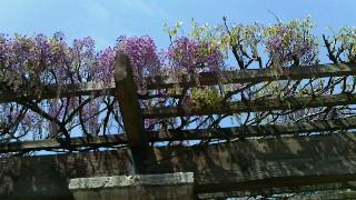藤が咲きました
