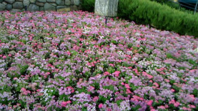 花畑はピンク
